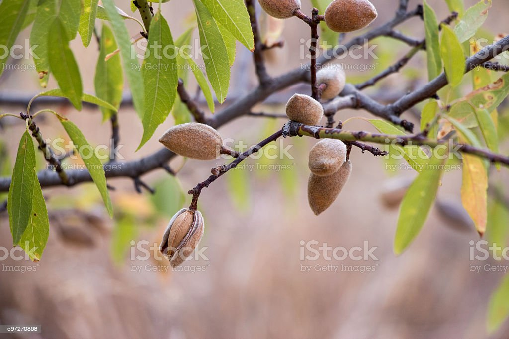 Ripe almonds on the tree branches. Lizenzfreies stock-foto