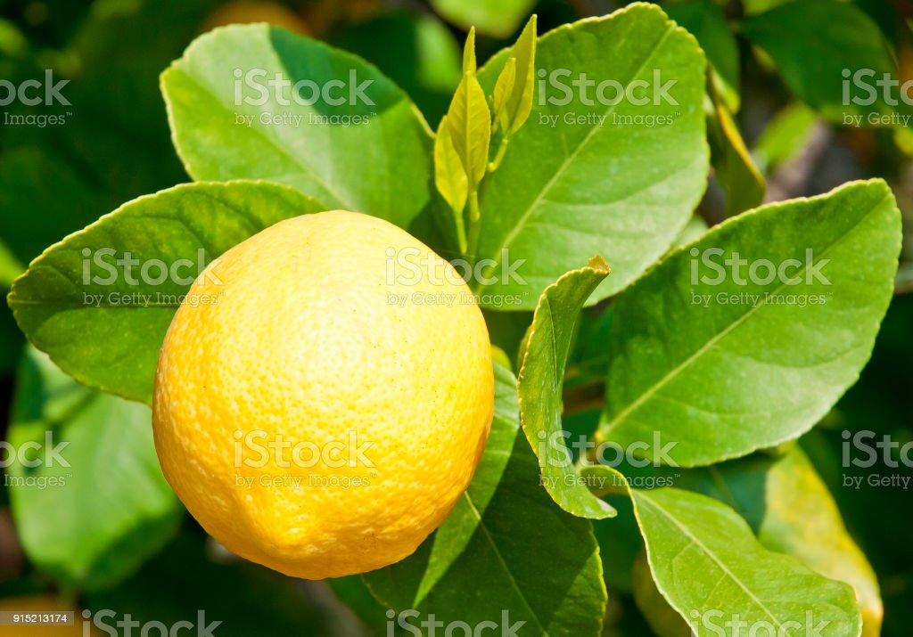 Reife und frische Zitrone am Baum – Foto