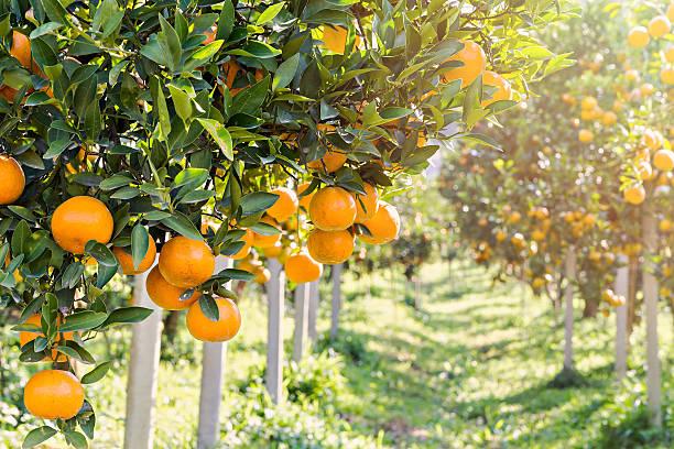 reife und frischen orangen hängen auf einem ast, orange obstgarten - streuobstwiese stock-fotos und bilder