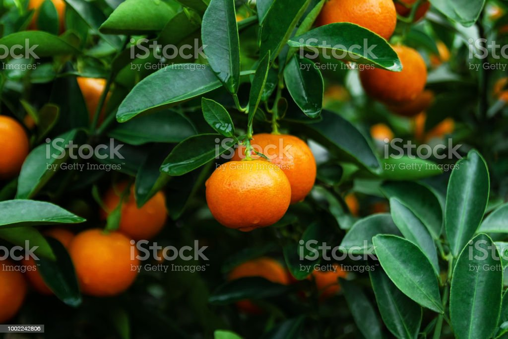 Ripe and fresh tangerines on a tree in a garden. Hue, Vietnam. stock photo