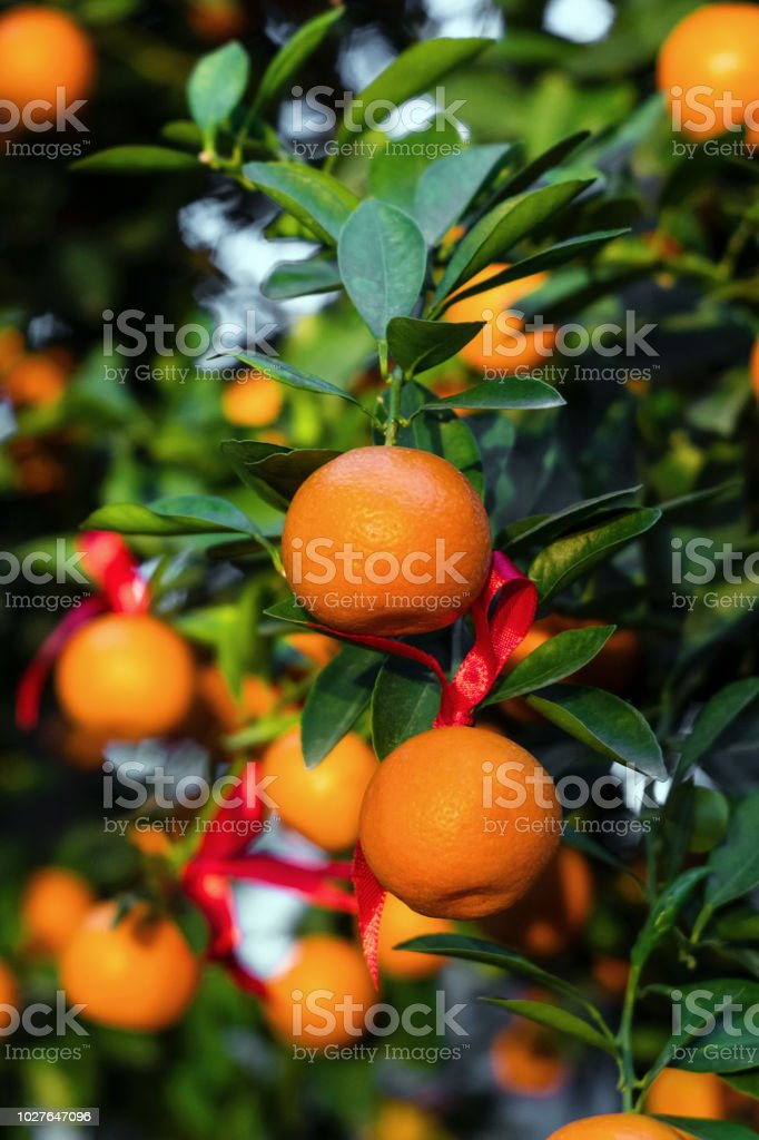 Ripe and fresh tangerines with red ribbons on a tree in a garden. Hoi An, Vietnam. stock photo