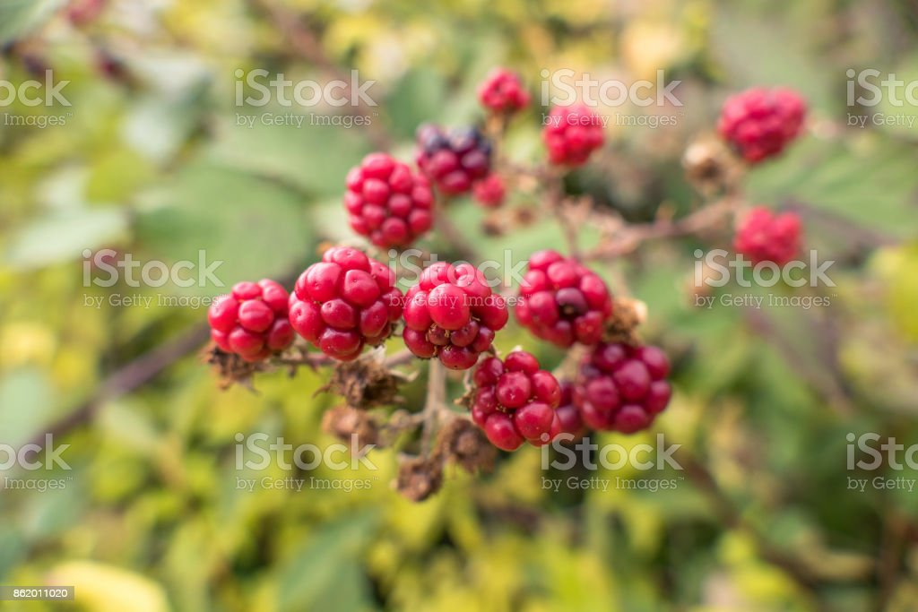 Ripe and red blackberries stock photo