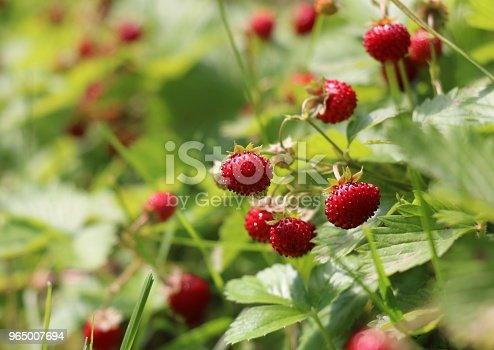 Ripe red berries wild strawberry.