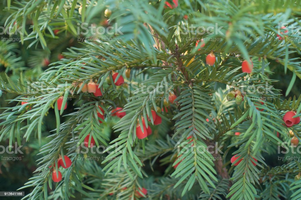 Ripe and unripe berries in the leafage of taxus baccata stock photo