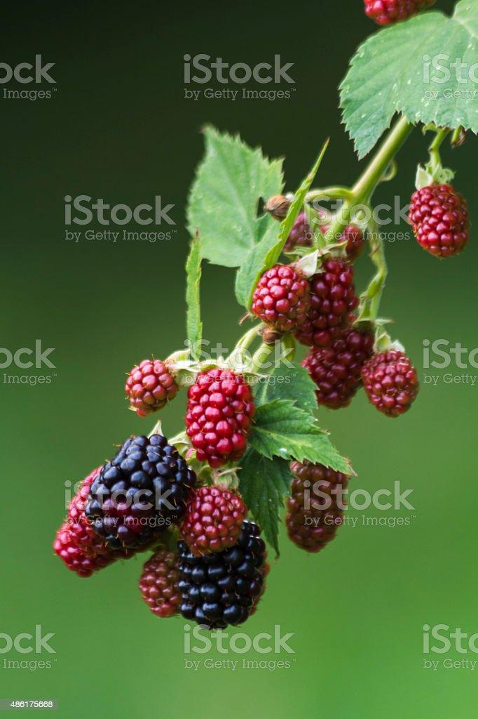 Ripe and unripe blackberries stock photo