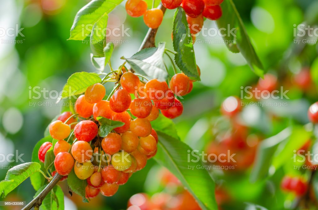 Ripe and unripe cherries hanging from a branch with green leaves. royalty-free stock photo