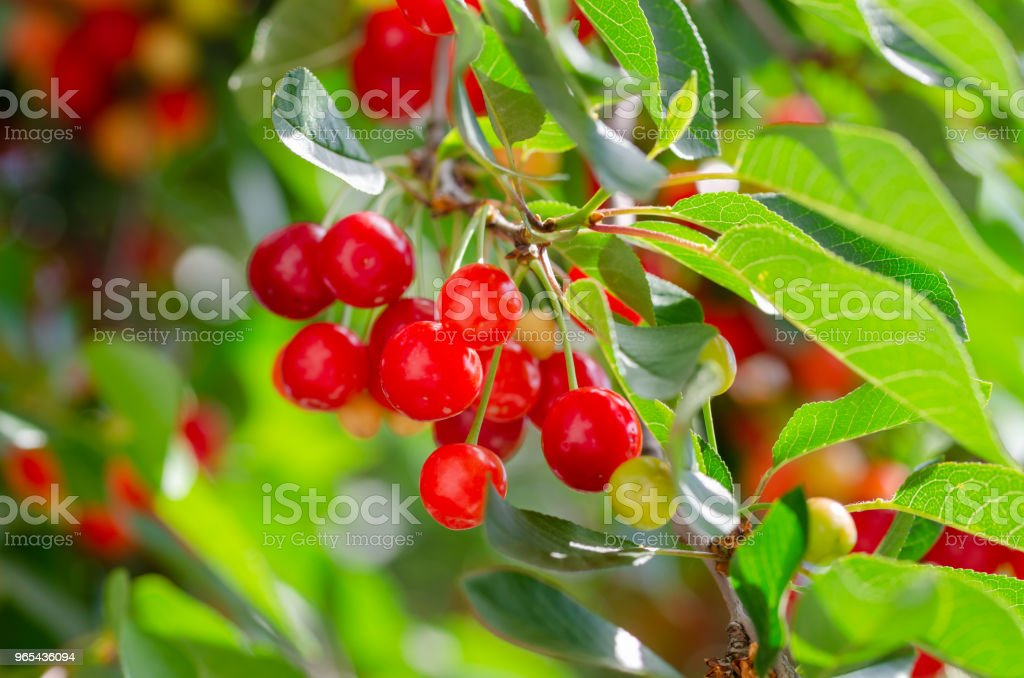Ripe and unripe cherries hanging from a branch with green leaves. zbiór zdjęć royalty-free