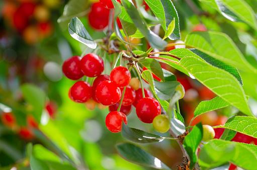 익은 고 익 체리 녹색 잎 지점에서 거 0명에 대한 스톡 사진 및 기타 이미지
