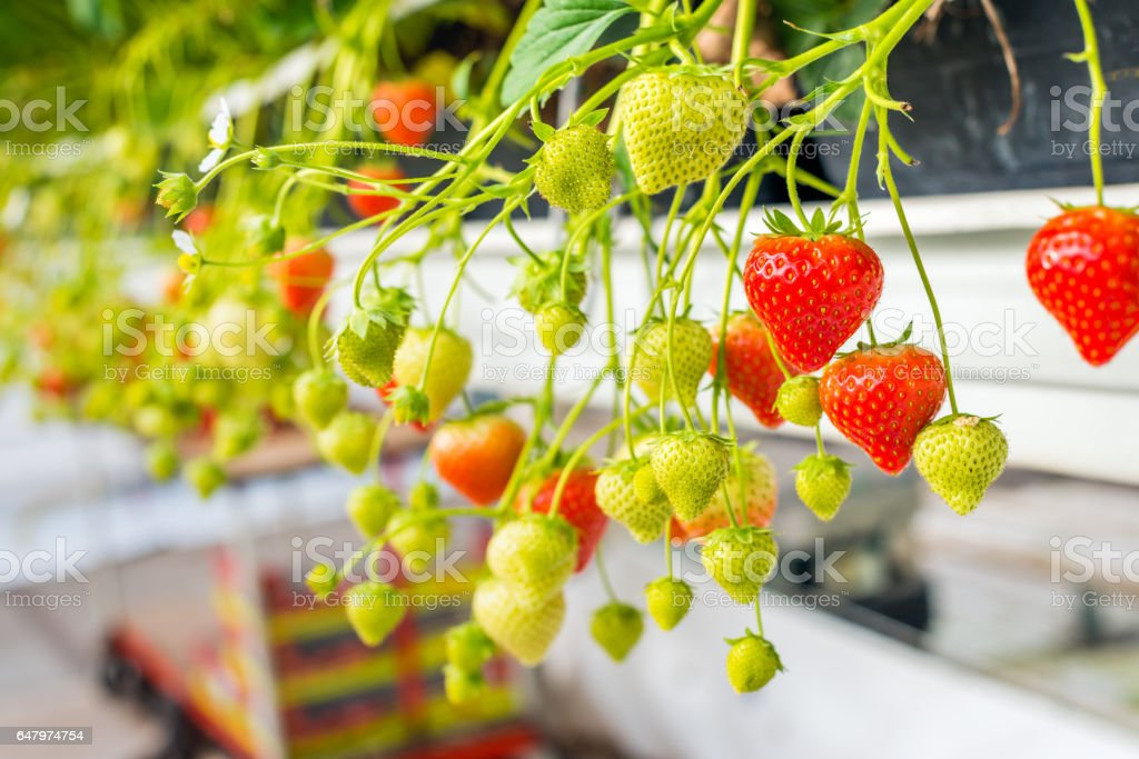 Ripe and unripe strawberries from close stock photo