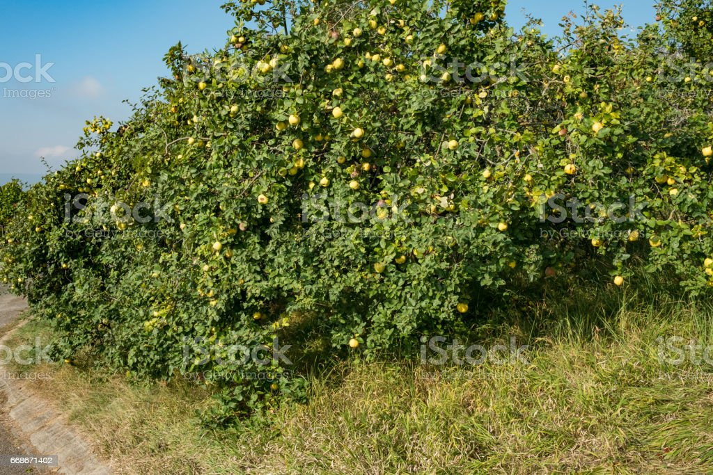 Ripe and yellow quinces at a fruit tree with green foliage stock photo