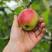 Square image of farmer's hand holding fresh red side apple. Sweet fruit is surrounded by leaves and tree branches. Autumn or summer harvest time and healthy eating concepts. Unfocused orchard garden at background.