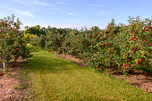 Field of fresh fruit red apple orchard. Outdoor horizontal landscape