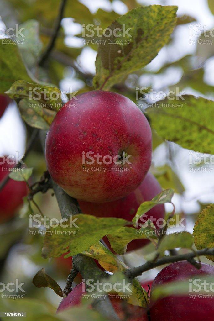 ripe apple royalty-free stock photo