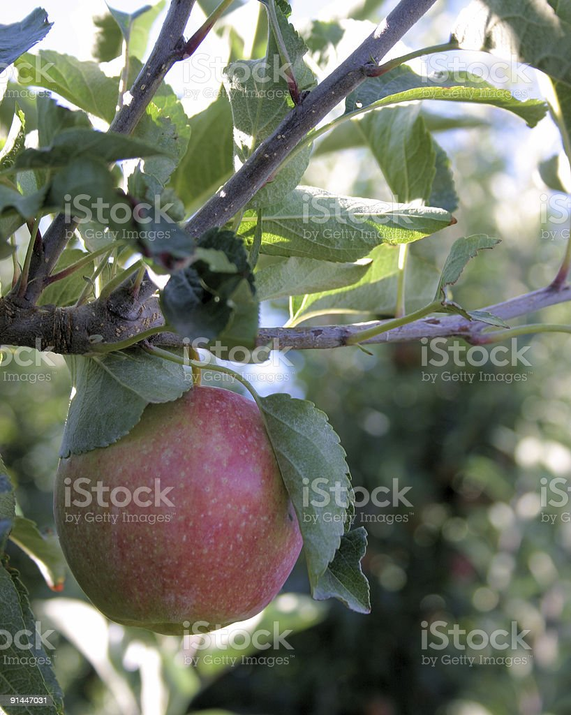 Ripe apple stock photo