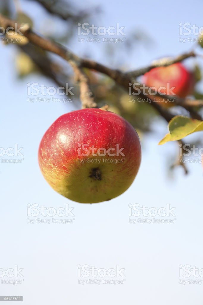 Ripe apple royalty-free stock photo