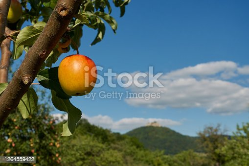 Ripe apple (Malus) with red and yellow colors hangs on the branch of a tree with green leaves, small hill in the background, blue sky and white clouds. Germany, Swabian Alb.
