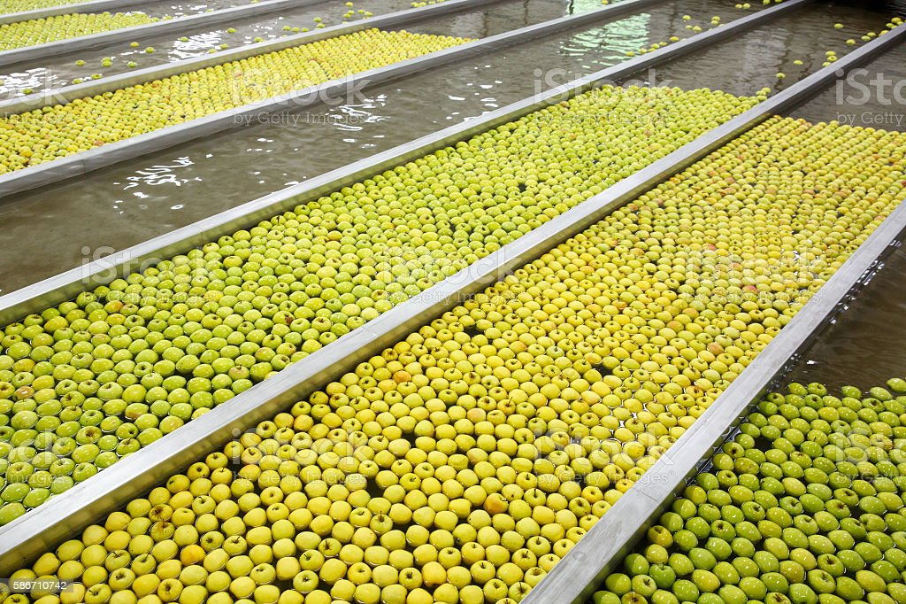 Ripe apples being processed and transported for packing - Photo