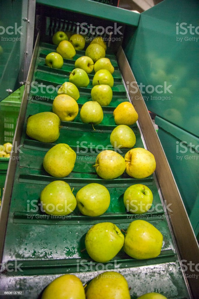 Ripe apples being processed and transported for packing royalty-free stock photo