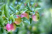ripe apples in an orchard ready for harvesting image
