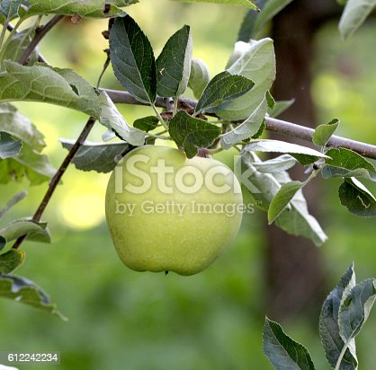 612242240 istock photo Ripe Apples in Orchard ready for harvesting 612242234
