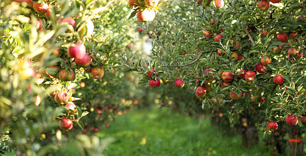 ripe apples in orchard ready for harvesting - gewas stockfoto's en -beelden
