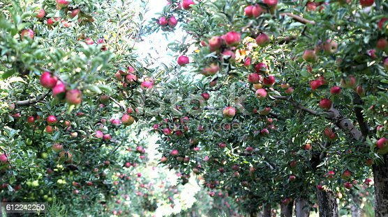 612242240 istock photo Ripe Apples in Orchard ready for harvesting 612242250