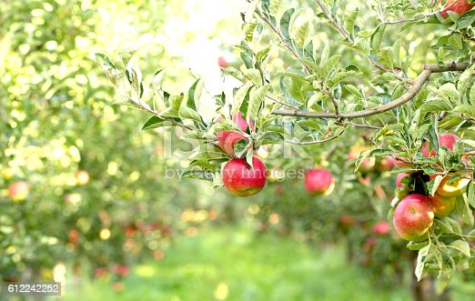 612242240 istock photo Ripe Apples in Orchard ready for harvesting 612242252