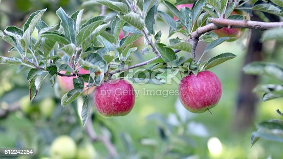 612242240 istock photo Ripe Apples in Orchard ready for harvesting 612242284