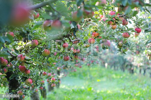 612242240 istock photo Ripe Apples in Orchard ready for harvesting 612242304