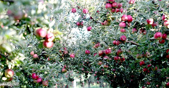 612242240 istock photo Ripe Apples in Orchard ready for harvesting 612242322