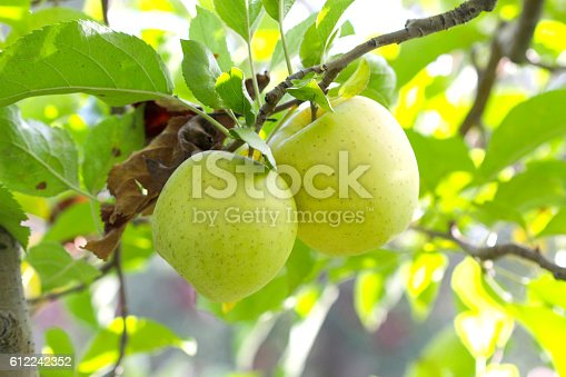 613534346istockphoto Ripe Apples in Orchard ready for harvesting 612242352