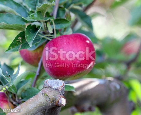 612242240 istock photo Ripe Apples in Orchard ready for harvesting 612242374