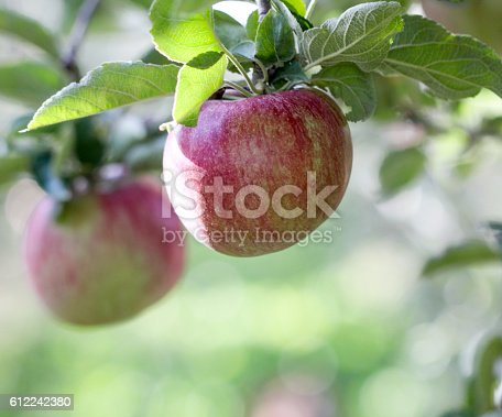 612242240 istock photo Ripe Apples in Orchard ready for harvesting 612242380