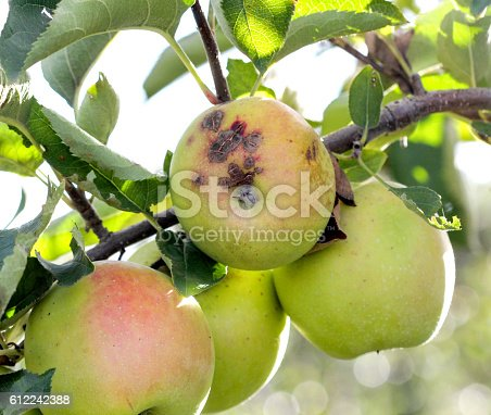 613534346istockphoto Ripe Apples in Orchard ready for harvesting 612242388