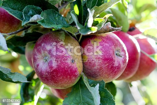 612242240 istock photo Ripe Apples in Orchard ready for harvesting 612242390