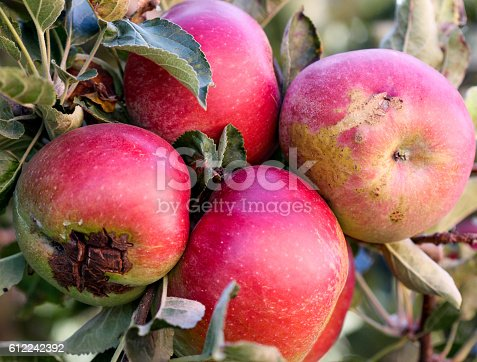 612242240 istock photo Ripe Apples in Orchard ready for harvesting 612242392
