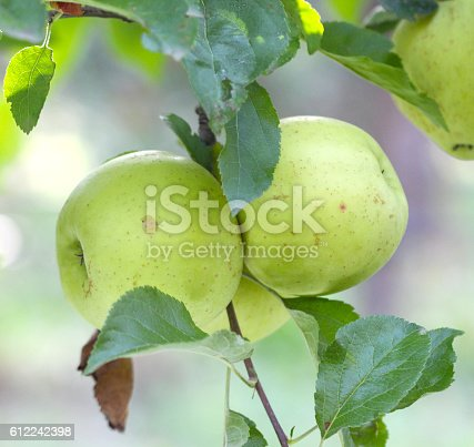 612242240 istock photo Ripe Apples in Orchard ready for harvesting 612242398