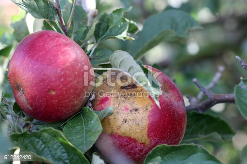 612242240 istock photo Ripe Apples in Orchard ready for harvesting 612242420