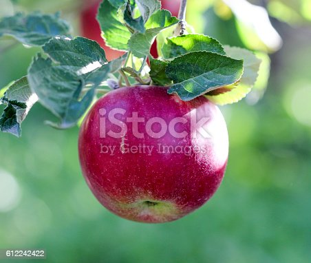 612242240 istock photo Ripe Apples in Orchard ready for harvesting 612242422