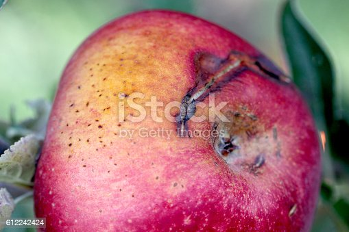 613534346istockphoto Ripe Apples in Orchard ready for harvesting 612242424