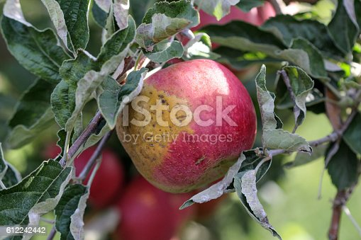 612242240 istock photo Ripe Apples in Orchard ready for harvesting 612242442