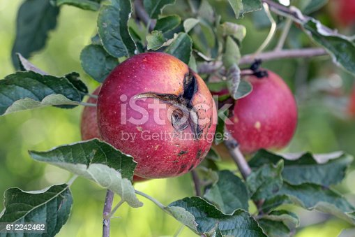 612242240 istock photo Ripe Apples in Orchard ready for harvesting 612242462
