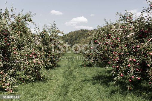 613534346istockphoto Ripe Apples in Orchard ready for harvesting 854094414