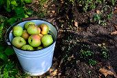 Ripe apples in rustic bucket. Harvesting time. Selective focus