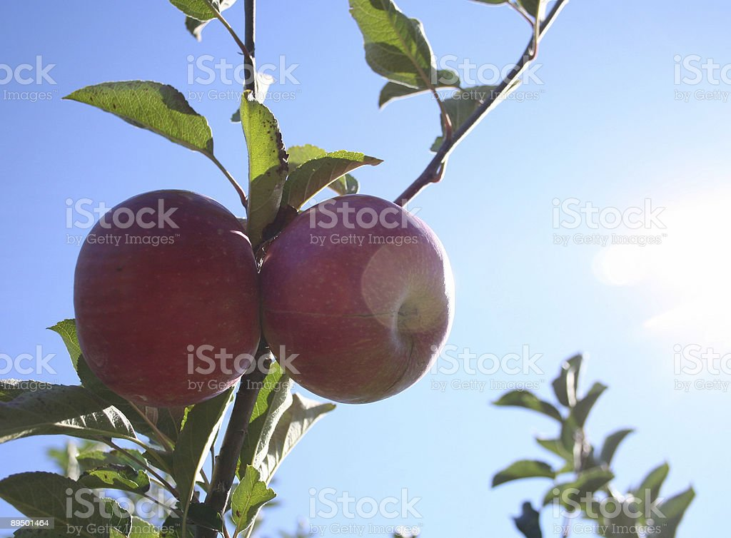 Ripe apples in the sun royalty-free stock photo