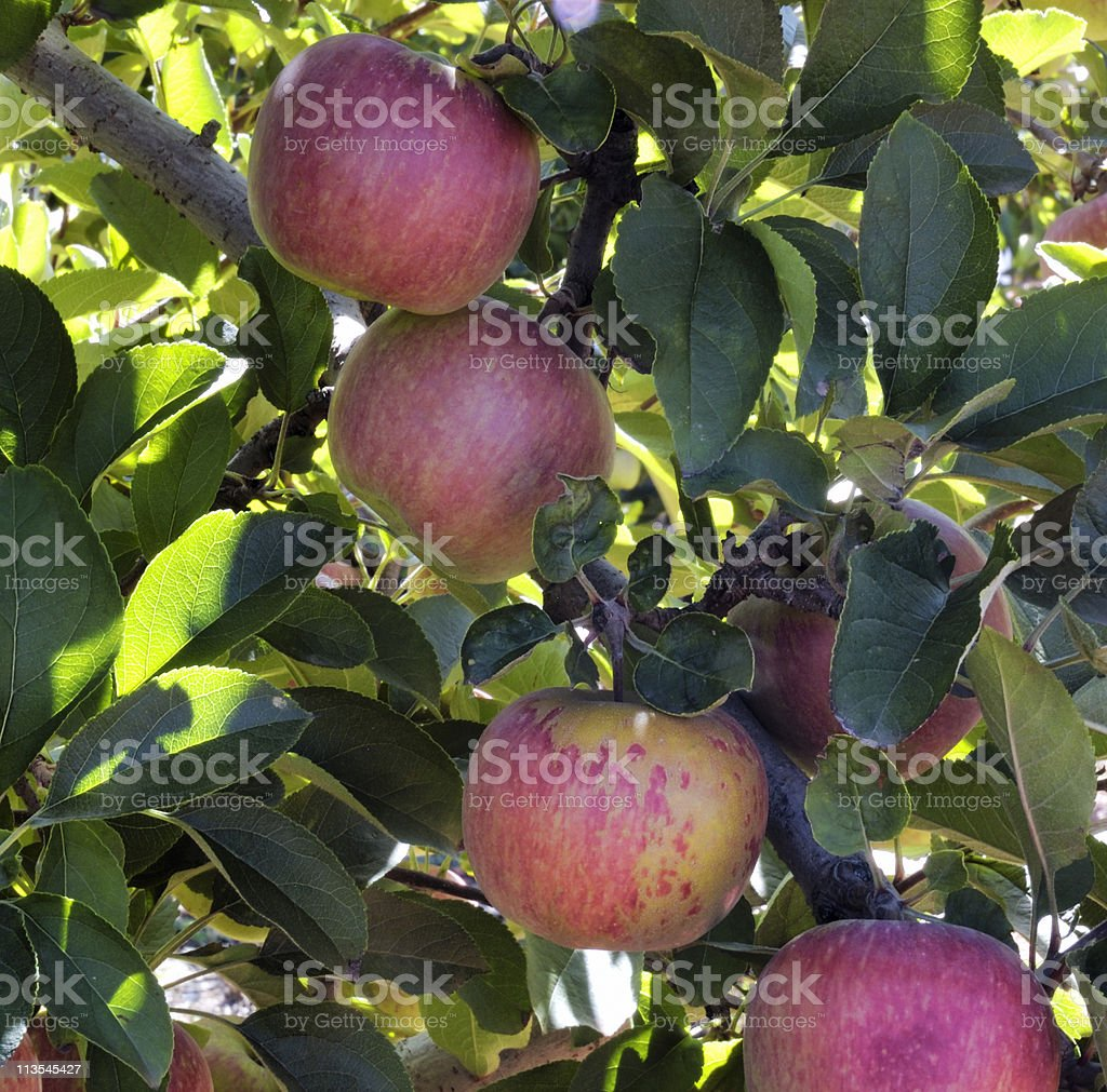 Ripe apples in tree royalty-free stock photo