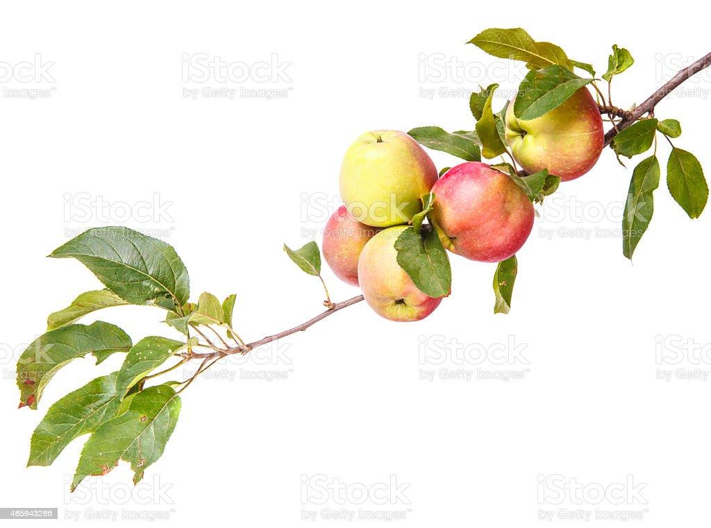 Reife Äpfel auf einem Ast, isoliert auf weißem Hintergrund – Foto