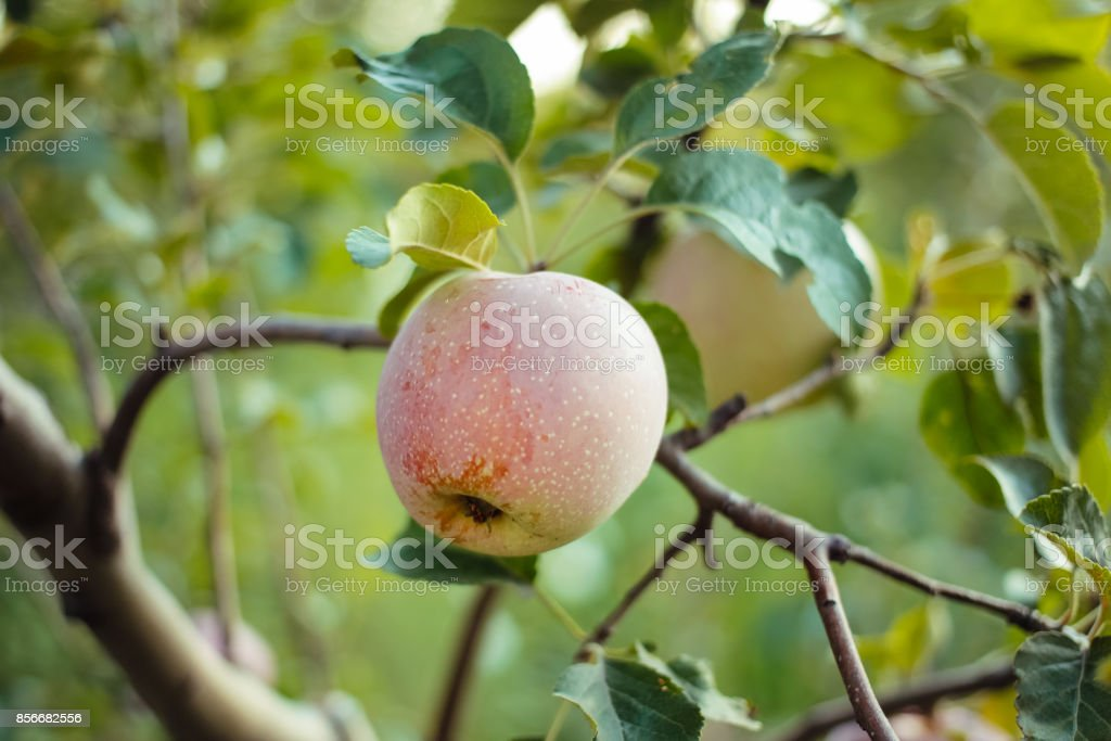 Ripe apples on a branch of a tree stock photo