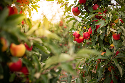 Ripe apples on a tree, Thuringia, Germany