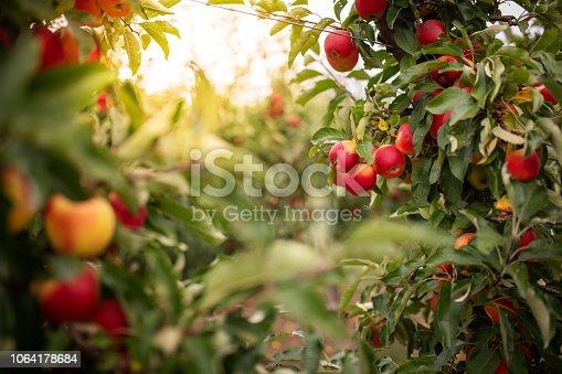 Thuringia, Germany: Ripe apples hanging on a tree in an apple orchard.